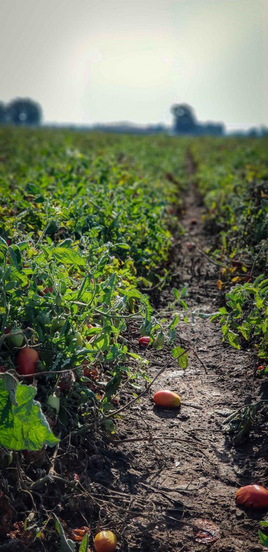 le champs de tomates Mutti près de Parme