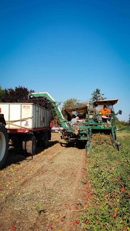 Machine récoltant des tomates rondes de Parme pour Mutti