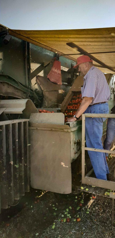 tri des tomates Mutti pendant la récolte sur le tracteur, dans les champs