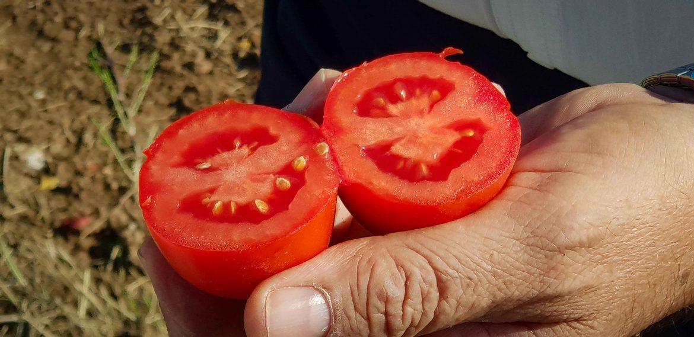 Tomate ronde de Parme coupée en 2, destinée à la conserve de Polpa Mutti