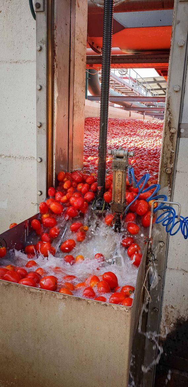Lavage des tomates à l'usine Mutti