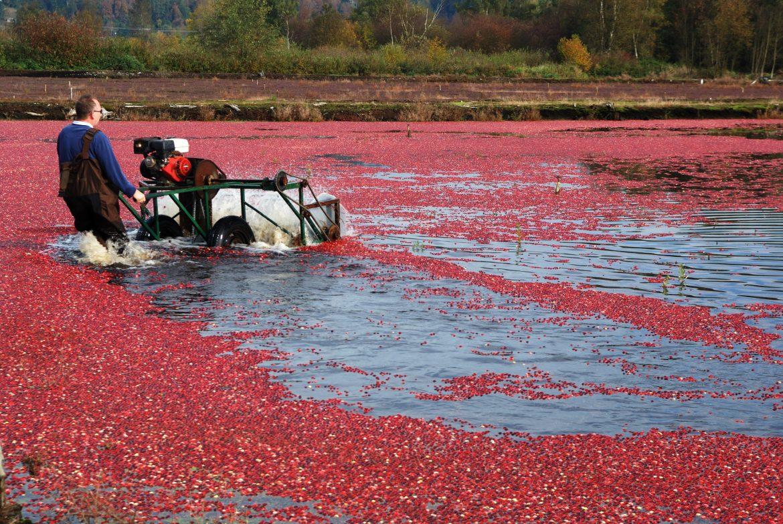 Cueillette industrielle de canneberges ou cranberries
