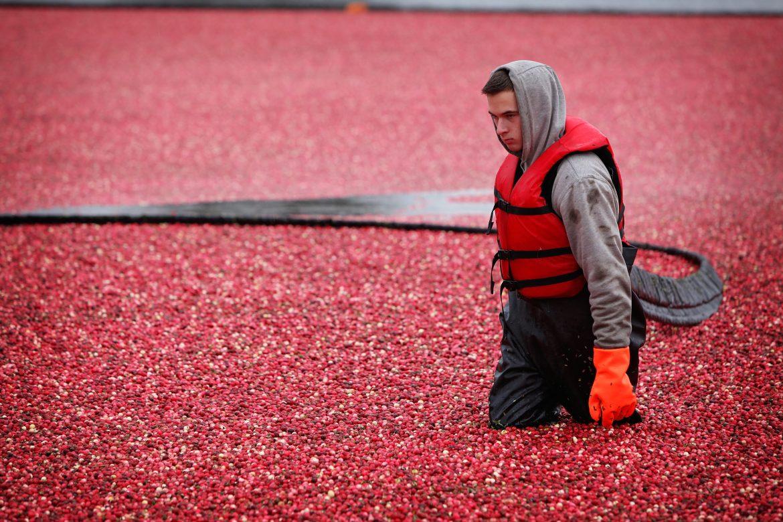 La récolte industrielle de la canneberge ou de la cranberry