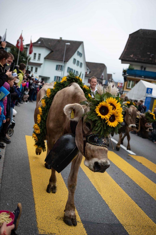 Vache brune lors de la désalpes à Entlebuch en Suisse