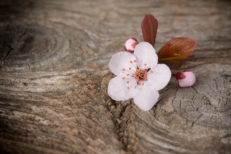 La fleur délicate et rose du sakura, le cerisier ornemental japonais, symbole du printemps