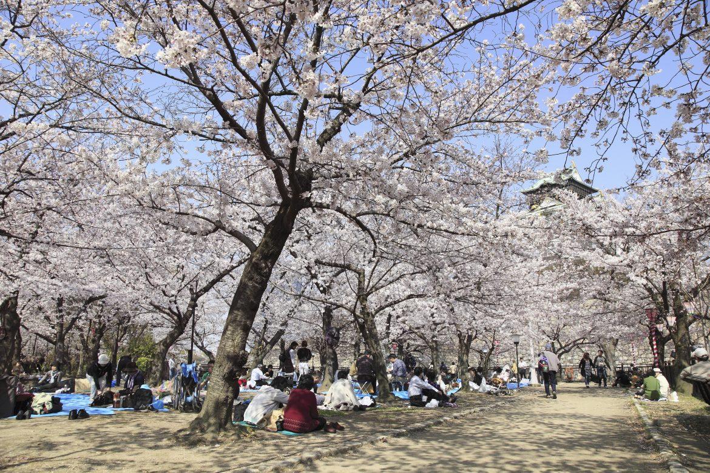 La fête Hanami des cerisiers en fleurs au Japon