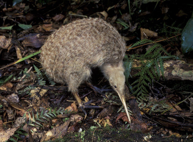 L'oiseau Kiwi de Nouvelle Zélande