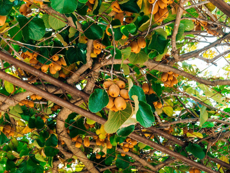 Plant de kiwi couvrant un tonnelle