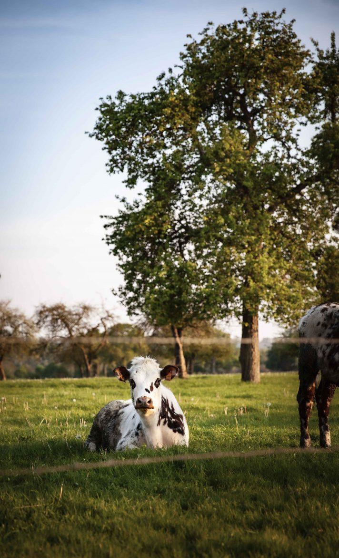 vache-normande-vergers-poiriers-domfront