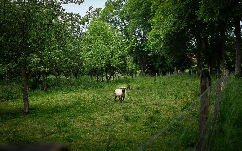 Moutons du suffolk dans les vergers du Domaine de Merval sur la Route des Fromages de Normandie