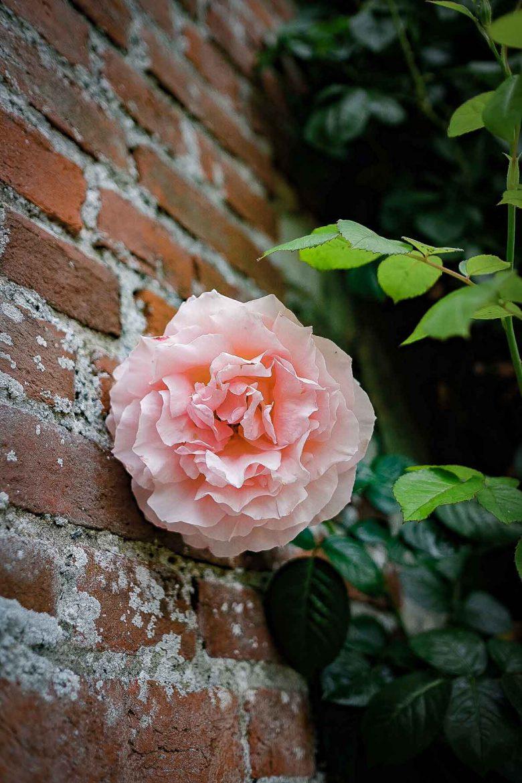Rose au Domaine de Merval sur la Route des Fromages de Normandie