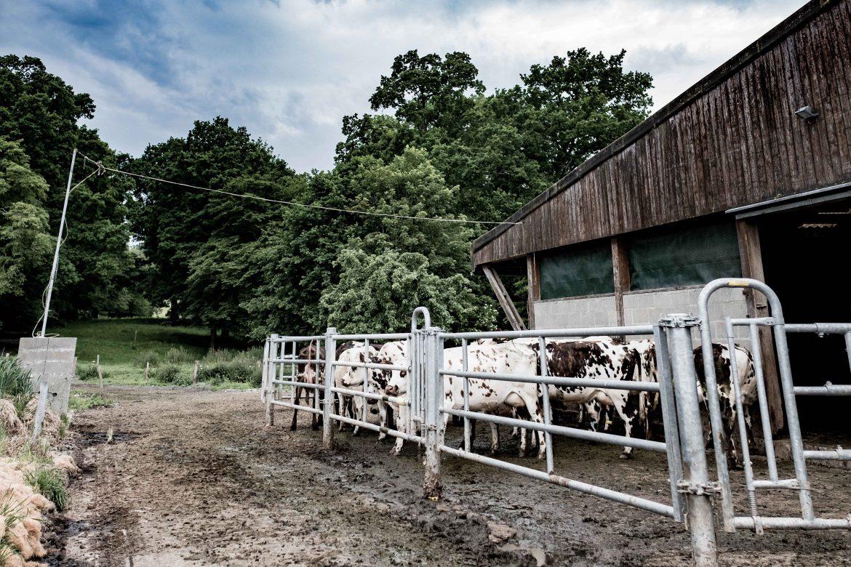 Les vaches normandes du Domaine de Nerval Fromage Neufchâtel