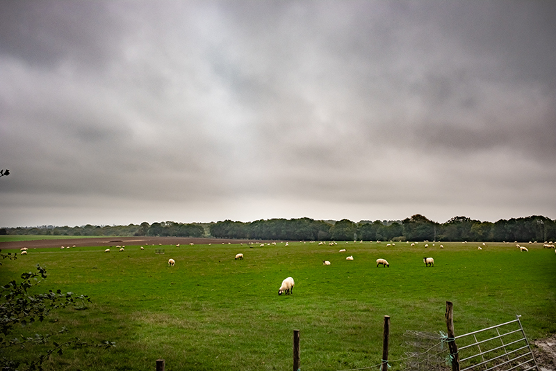 Elevage extensif en Angleterre dans le Kent