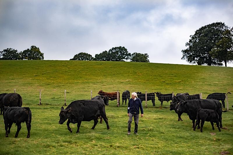 Elevage d'aberdeen Angus dans le Kent, John Coultrip et ses animaux