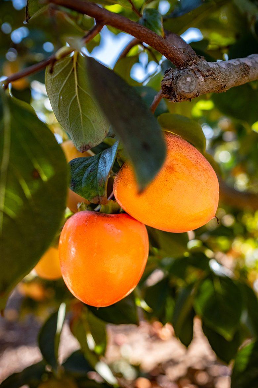 Kaki sur leur arbre, plaqueminier, kaki Persimon® avant récolte à la vallée Ribera del Xùquer