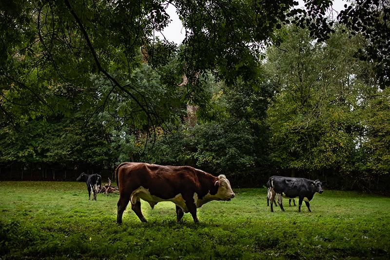 Teaurea Hereford et vaches Holstein pour le croisement des animaux de boucherie en Angleterre