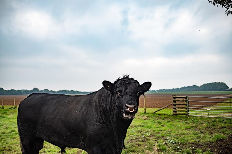 Un taureau Aberdeen Angus champion chez John Coultrip