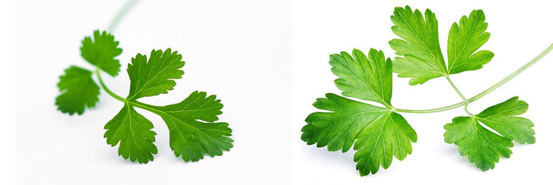 feuille de coriandre versus feuille de persil, pour ne plus confondre