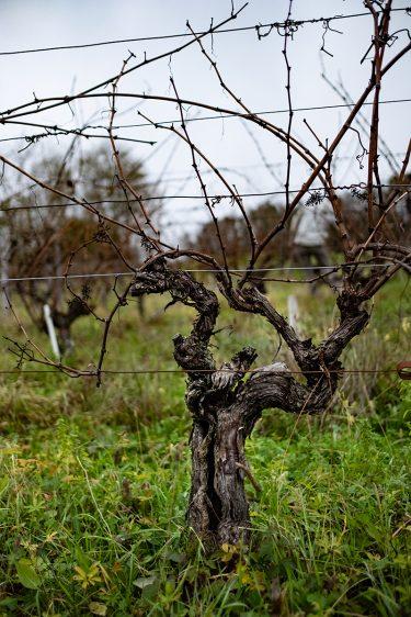 Vieille vigne de Savagnin