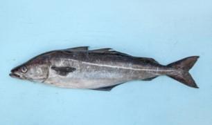 Le lieu noir est un poisson foncé avec une raie blanche