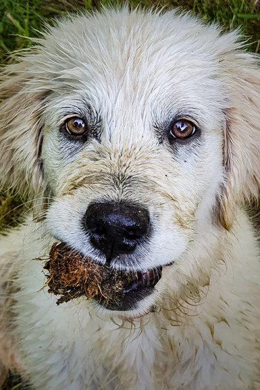 Reyna à 4 mois, notre chienne Golden Retriever robe crème