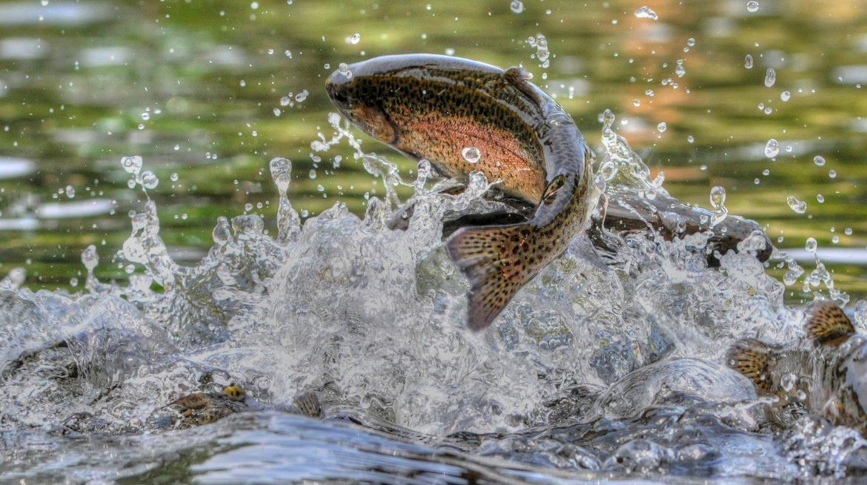 Une truite arc-en-ciel en train de sauté dans une rivière