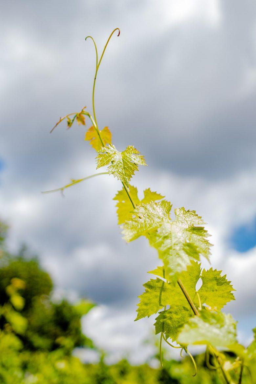 Liane de vigne, cabernet franc N,  Saint-Nicolas-de-Bourgueil