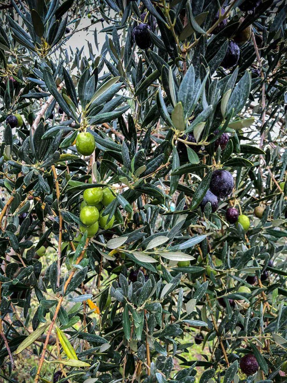 Olivier et olives vertes et noires sur un arbre du Domaine Leos, de Patrick Bruel à l'Isle sur la Sorgue, huile H.