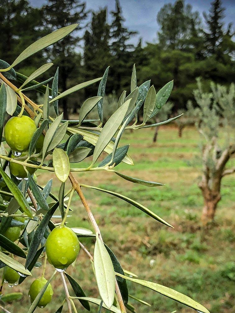 Olives sur arbre dans le Domaine Leos à l'Isle sur la Sorgue, Huile H originelle.