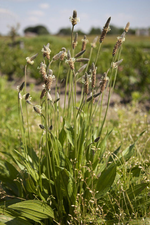 Plantago lanceolata ou plantain lancélolé