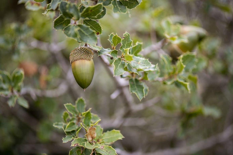 """Glands de chêne vert ou """"nellota"""" en espagnol"""
