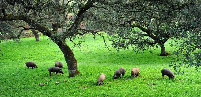 Porcs ibériques pâturant dans une dehesa, un pâturage couvert de chênes