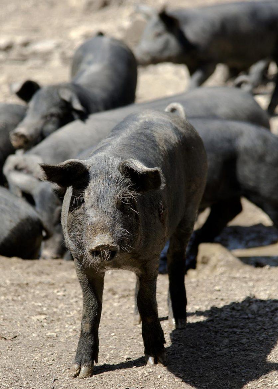 """Porc ibérique pur race dit """"pata negra"""""""
