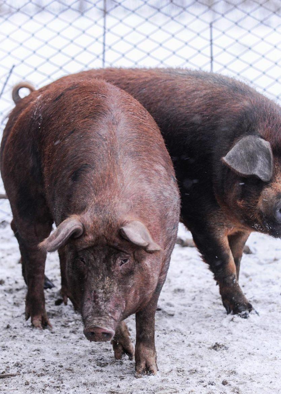 Porc Duroc