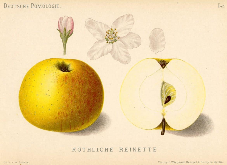 Pomme Reine des Reinettes, parfaite pour les recettes de tarte Tatin