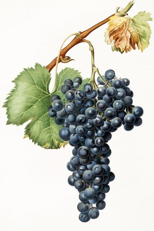 cépage Nebbiolo, une grappe de petits raisins recouverts de pruine
