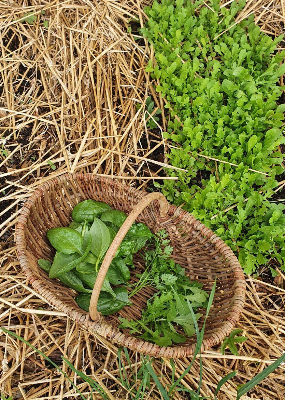 Mon panier de cueillette dans mes planches de simples, herbes aromatiques