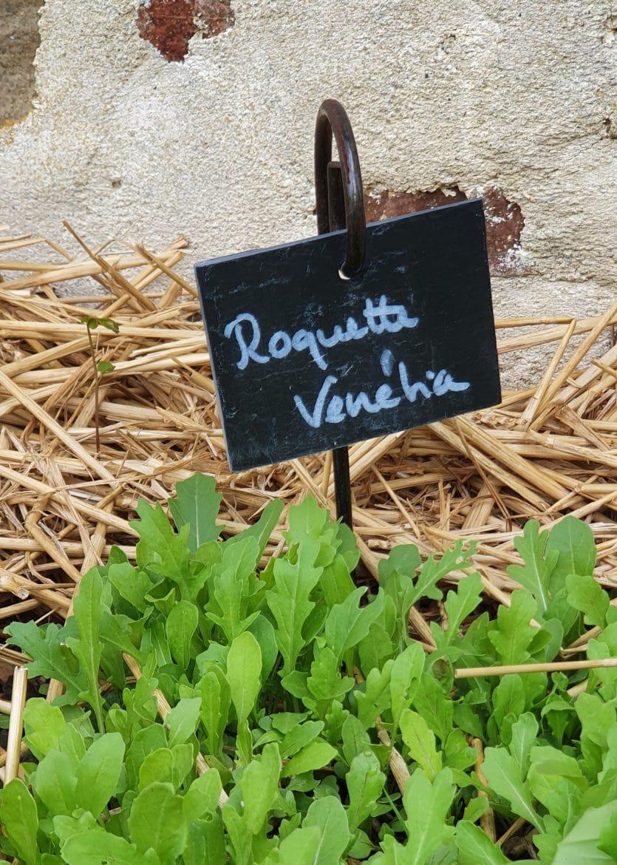 Ma roquette venetia dans mon jardin potager