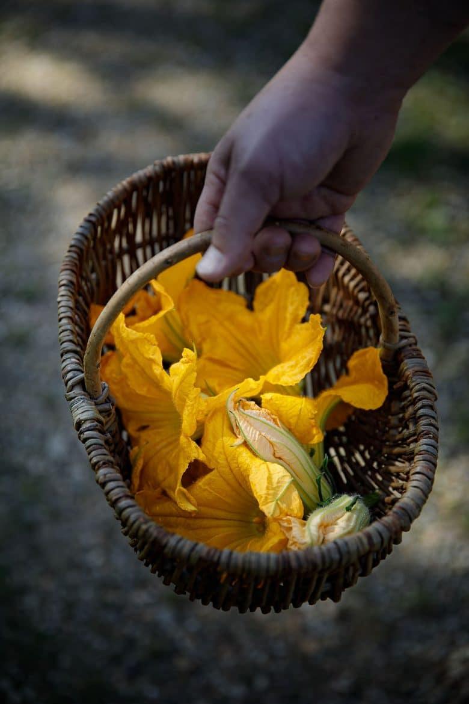 Les fleurs de courgette de mon jardin, des fleurs mâles parfaites pour être farcies à la ricotta