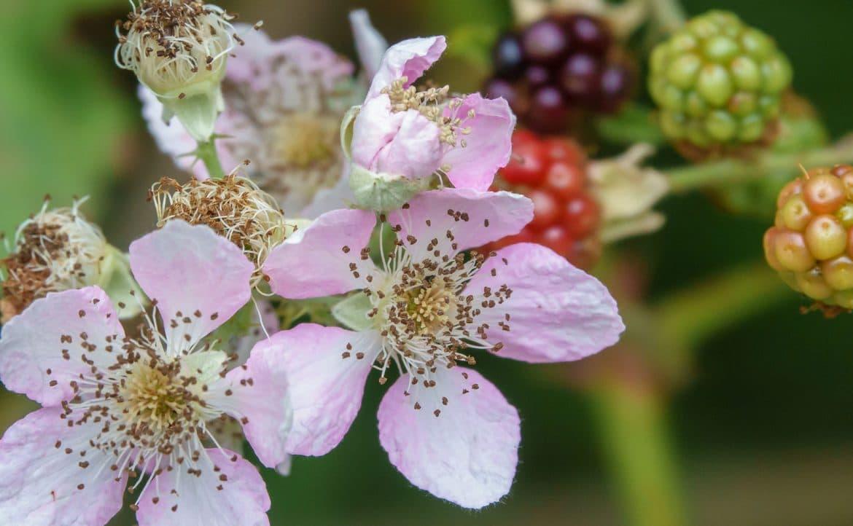 Les fleurs roses de la ronce commune ou mûre sauvage